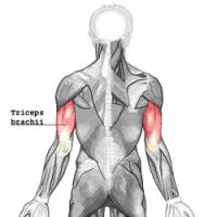250px-triceps-brachii.png